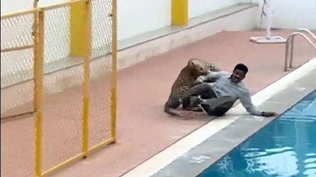Индия: нелегкая это работа, поймать проникшего в школу леопарда