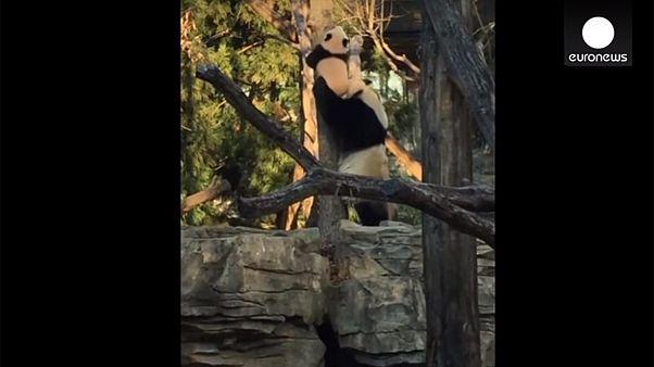 Tree-hugging baby panda gets helping paw from mum