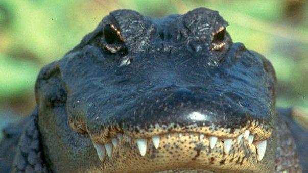 """Mann wirft Alligator: """"tödliche Waffe"""""""