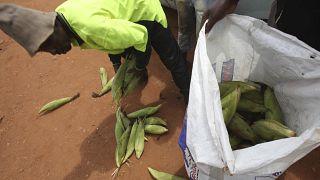 Drought forces Zambia to ban maize exports to Zimbabwe