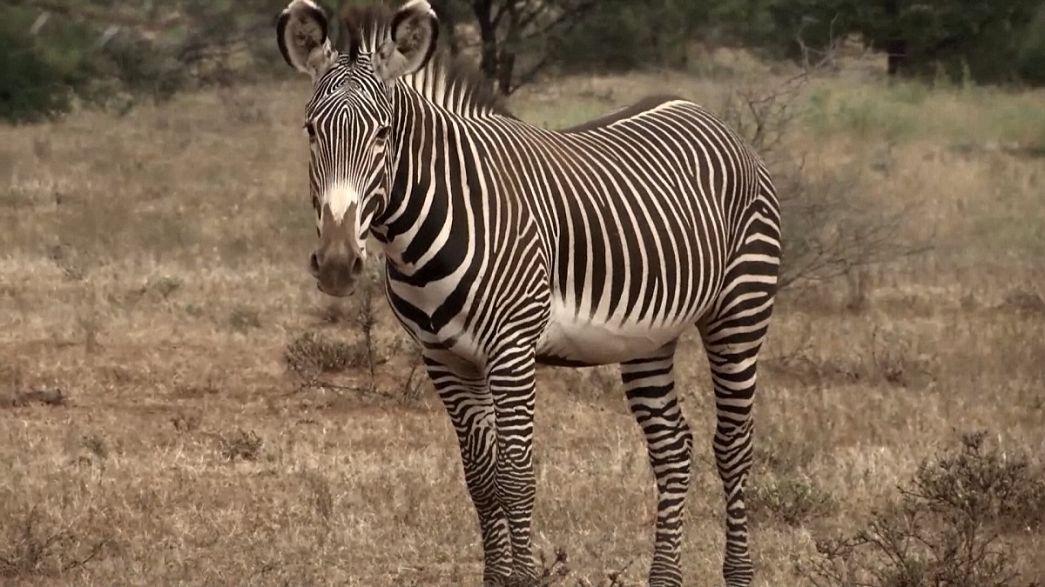 """Il """"codice a barre"""" delle zebre"""