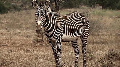 Primer censo de cebras de Grevy en Kenia