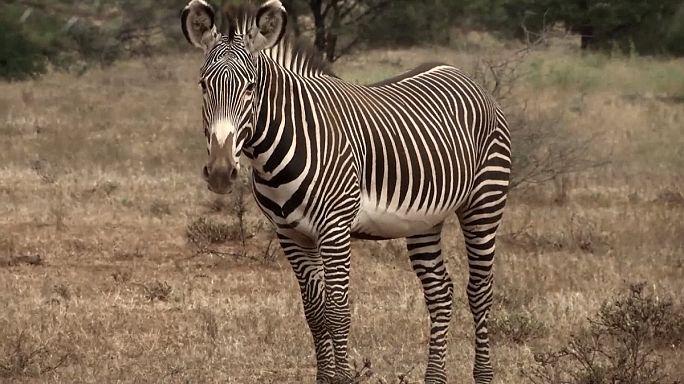Перепись зебры Греви в Кении