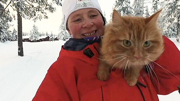 Jesper, a norvég celebmacska