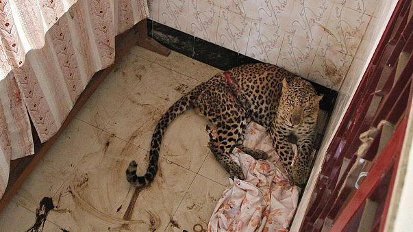 Indien: Schwer zu bändigender Leopard ist erneut entwischt