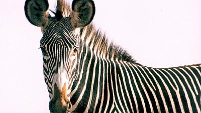 First Grevy's zebra census conducted in Kenya