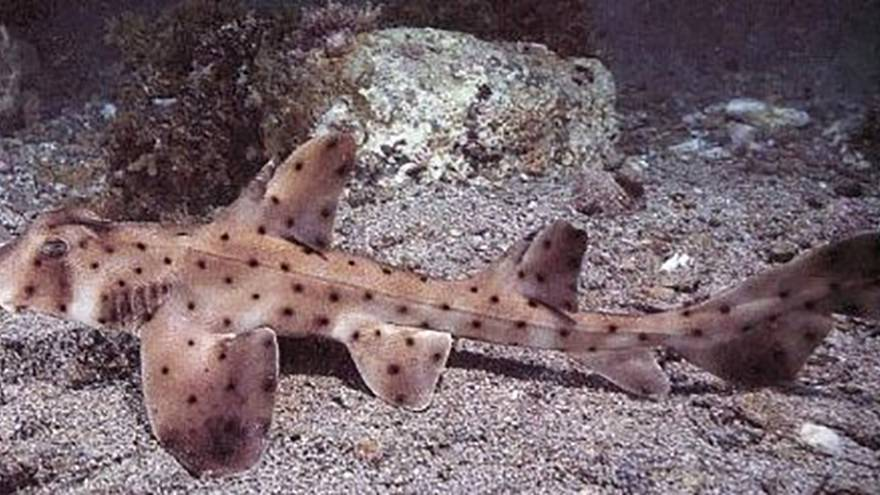 Image: Horn Shark