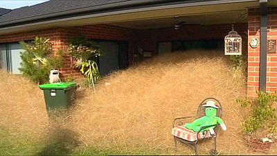 """""""Hairy panic"""" - Welt verwundert über Pflanzenplage in Wangaratta"""
