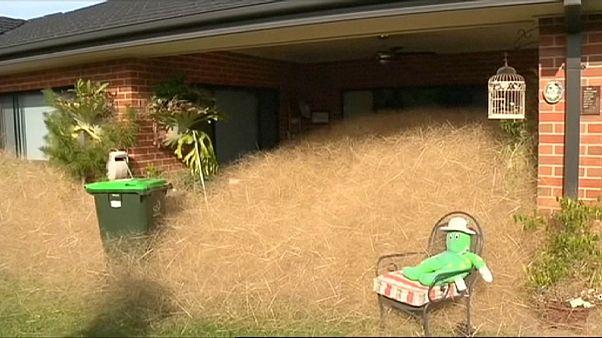 'Hairy Panic' engulfs houses in Australian town