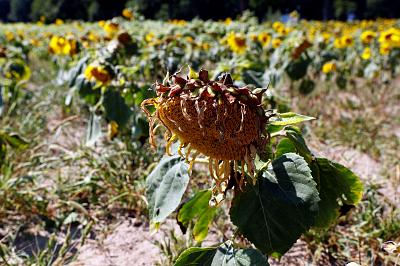 Dried-out sunflowers in a field near Breydin, Germany, on Monday.