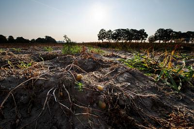 Potato plants suffer in the heat in a field in Germany.
