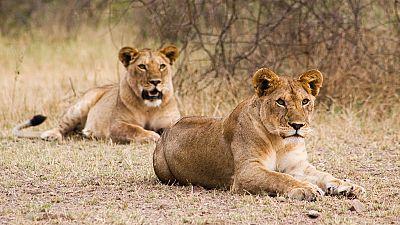 Nairobi : 2 lionnes dans la ville