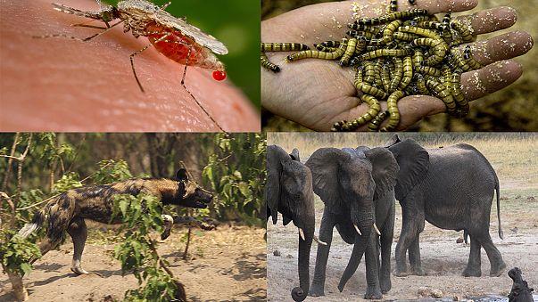 Mosquitos: Os animais mais mortíferos do planeta