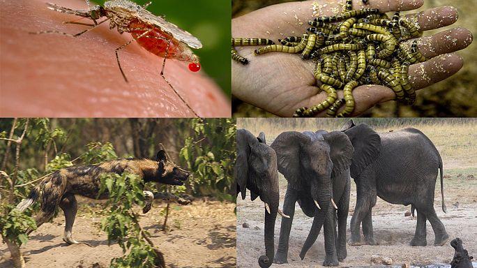 Sivrisinekler insandan sonra en ölümcül canlı