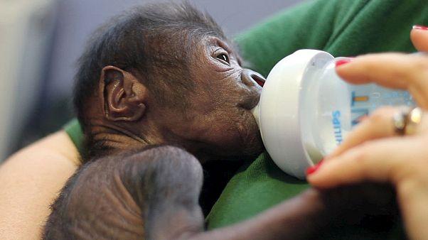Naissance d'un bébé gorille par césarienne