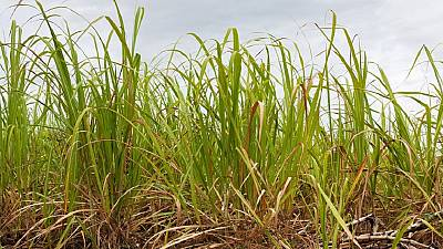 Cameroon: Drought threatens sugar production