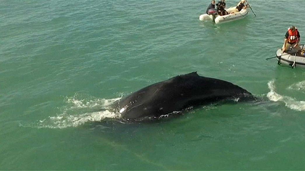 Salvan a una ballena jorobada de una malla de pesca