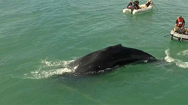 Mexique : Sea Sheperd à la rescousse d'une baleine à bosse