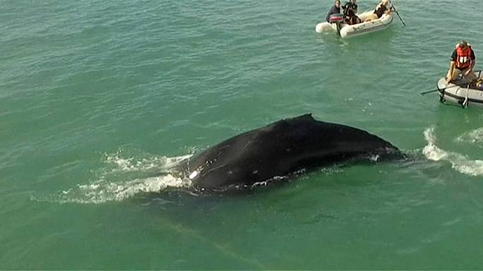 Trapped whale freed in Gulf of California