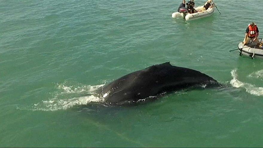 Mexiko: Tierschützer retten Buckelwal aus illegalem Fischernetz