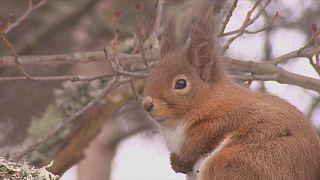 Graue Gefahr für die roten Eichhörnchen