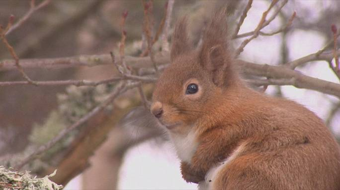 Red squirrels could disappear, warn conservationists