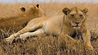 Kenya: Police spot stray lions near Nairobi highway