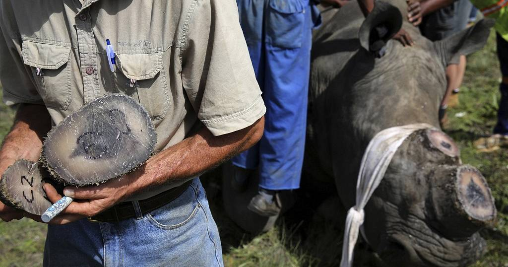 S Africa: World's largest rhino farm cutting off their horns to save