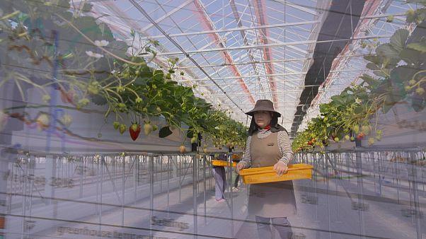 Superare lo tsunami: l'agricoltura giapponese riparte da fragole e GPS