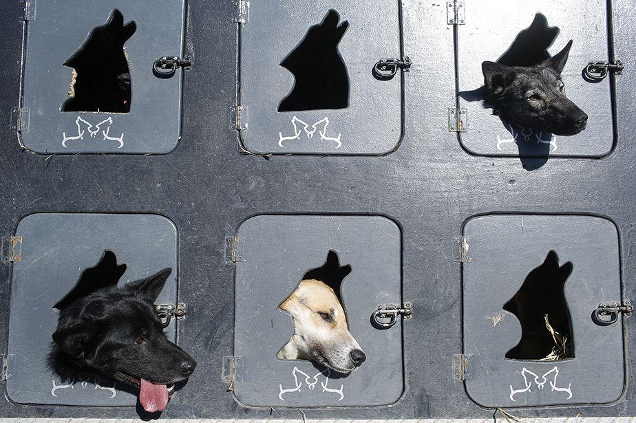 Iditarod, dernière grande course de chiens de traîneau