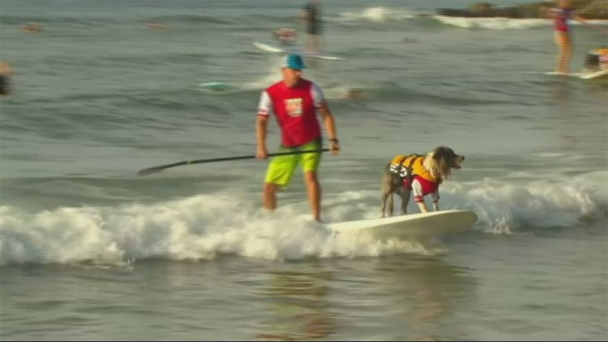 الكلاب تنافس الرجال في ركوب الامواج في كوينزلاند