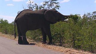 تربية النحل لحماية المارولا من الفيلة