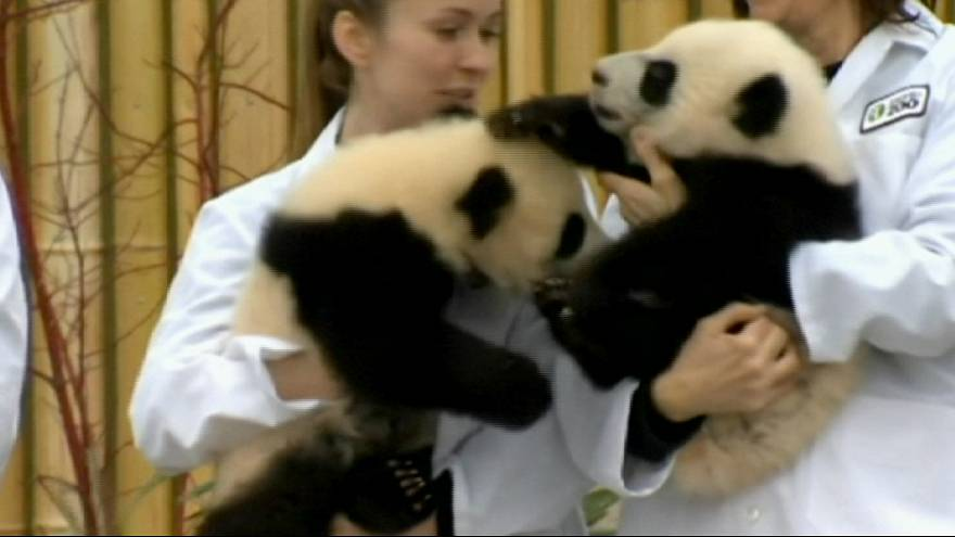 New panda cubs bring Hope and Joy to Canada