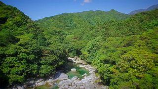 جزيرة ياكوشيما: موطن لاشجار الأرز الألفية