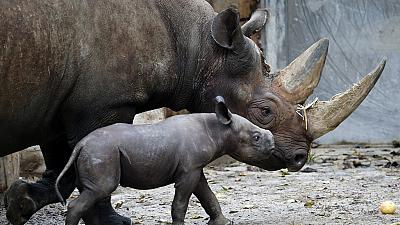 Surge in rhino poaching in Africa