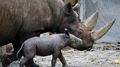 Braconnage record de rhinocéros en Afrique en 2015 (UICN)