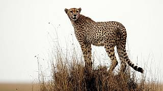 Namibia: Founder of the Fund saving cheetahs from extinction