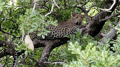 L'Afrique du Sud interdit la chasse au léopard