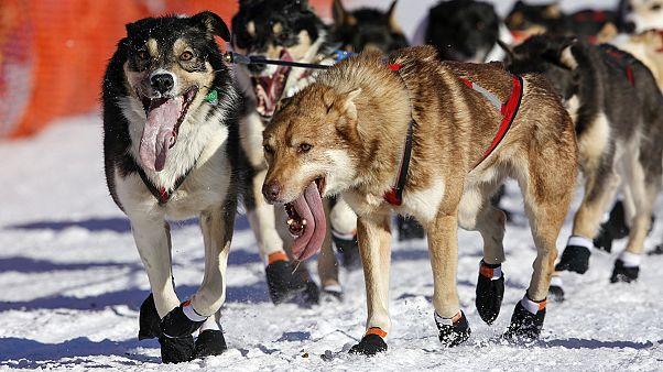 فردی با حمله به مسابقه سورتمه سواری در آلاسکا، یک سگ را کشت