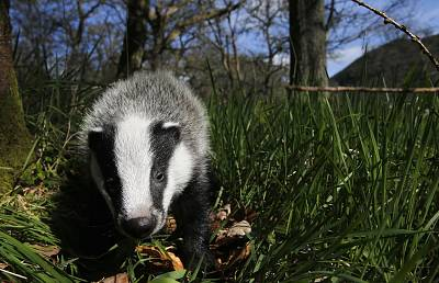 Badgers are among the animals struggling this summer.