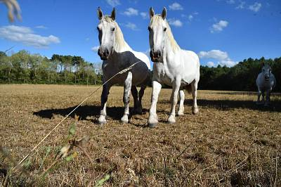 Percheron horses search for grass in a dried meadow during a heatwave near La Breille-les-Pins, France, on Aug. 8.