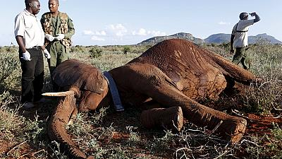 Kenya collaring elephants to monitor impact of new railway on wildlife