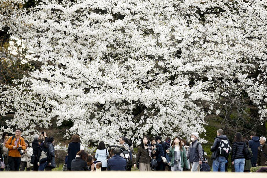 Les cerisiers sont en fleurs, les Japonais en joie