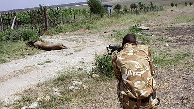 Kenya: un lion en divagation abattu