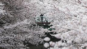 A migliaia sotto i ciliegi in fiore in un parco di Tokyo