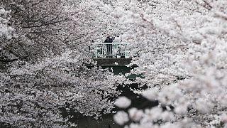 Japon : les cerisiers en fleurs