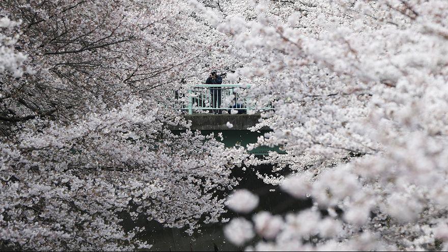 Ezrek nézik meg a cseresznyevirágzást Tokióban