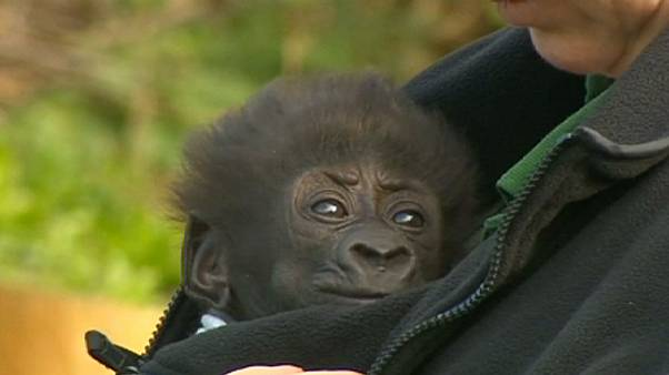 Gorilla baby makes her debut in Bristol Zoo ... then falls asleep