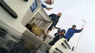 Спасенного морского льва возвратили в дикую природу