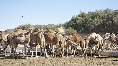 Sahara occidental : des déchets transformés en aliments